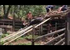 Vaca é resgatada após ficar presa em telhado, em Timbó
